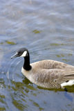 Canada goose in water. A Canada goose surrounded by water Stock Photos