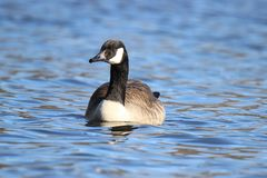 Canada Goose on the Water Royalty Free Stock Image