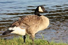 Canada Goose at Water`s Edge. Close-up profile of a Canada goose standing in green grass at the edge of a blue lake stock photos