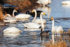 Canada Goose and Whooper Swan Royalty Free Stock Images