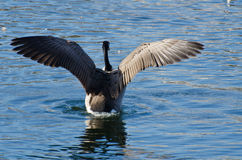 Canada Goose with Wings Outstretched. On the Blue Water royalty free stock image