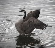Canada goose with wings outstretched in water. Beautiful shot of canada goose spreading its wings while in the water. Rippled water surrounding it royalty free stock photography