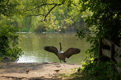 Canada Goose with wings spread. Stock Photography