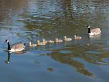 Canada Goose With Goslings Royalty Free Stock Images
