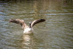 Canada Goose With Stretched Wings Stock Image