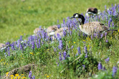 Canada goose in Yellowstone National Park royalty free stock photos
