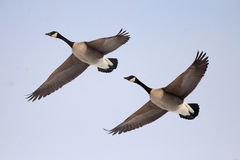 Canada gooses. Are flying in the sky Royalty Free Stock Image