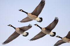 Canada gooses. Are flying in the sky Stock Photos