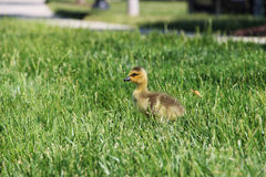 Canada gosling Royalty Free Stock Images