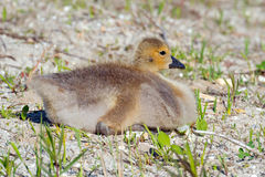 Canada Gosling Stock Photo