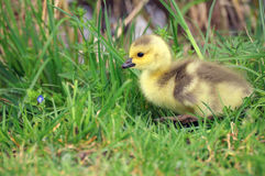 Canada gosling on grass Royalty Free Stock Photos