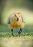 Canada Gosling Running Face On. A young and very cute Canada gosling runs on grass runs towards the camera at Wollaton Park, Nottingham, UK in Spring 2014. His Stock Photo