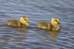 Canada Gosling's Royalty Free Stock Image