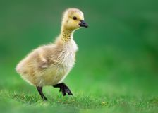 Canada Gosling Walking on Grass Stock Photography