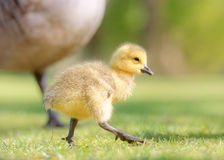 Canada Gosling Walking Stock Image