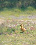 Canada Gosling Walking in Wild Flowers. A cute Canada Gosling walks confidently amongst the pink, purple and blue wild flowers surrounding Nunnery Lakes Royalty Free Stock Images