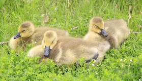 Canada Goslings Stock Images