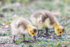Canada Goslings Branta Canadensis Eating Grass. Royalty Free Stock Photography