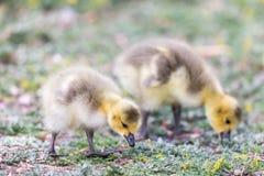 Canada Goslings Branta Canadensis Eating Grass. Royalty Free Stock Image