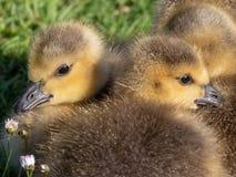 Canada goslings Stock Image