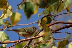 canada lokaci krajowy Ontario parkowy pelee punktu warbler kolor żółty zdjęcie stock