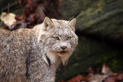 Canada Lynx. Closeup of a Canada Lynx against a blurred background Royalty Free Stock Photography