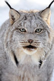 Canada Lynx. Closeup of a Canada Lynx against a snowy background Royalty Free Stock Images