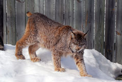 Canada Lynx. Close-up picture of a canada Lynx in captivity Stock Photography