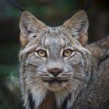 Canada Lynx Photo libre de droits