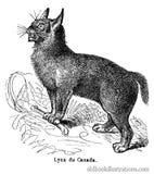 Canada Lynx Royalty Free Stock Photos