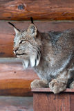 Canada lynx. The Canada lynx (Lynx canadensis) or Canadian lynx Stock Photography
