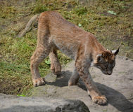 The Canada lynx Stock Photos