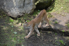 The Canada lynx Royalty Free Stock Photography