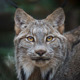 Canada lynx. Close up shot portrait of lynx Royalty Free Stock Photo