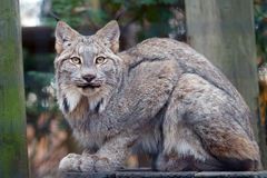 Canada lynx. Close up shot portrait of lynx Royalty Free Stock Photography