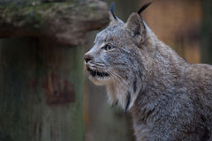 Canada lynx. Close up shot profile of lynx Stock Photos