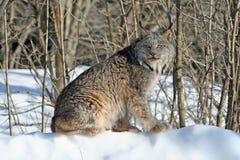 Canada Lynx dans la neige Photo libre de droits