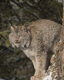 Canada Lynx halfway up a tree. Canada Lynx is sitting on his favorite tree perch.  Lynx canadensis Stock Photo