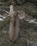 Canada Lynx hangin out in a tree. Canada Lynx just hanging out in is favorite tree.  Triple D Game Farm Kalispell, Montana USA.  Lynx canadensis Stock Images