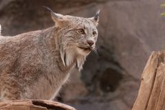 Canada Lynx on the lookout...d color and amber eyes. royalty free stock photos