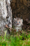 Canada Lynx (Lynx canadensis) Kitten Calmly Looks Out Stock Image