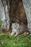 Canada Lynx Lynx canadensis Kitten Cries Out Stock Photography