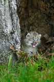 Canada Lynx (Lynx canadensis) Kitten Cries Out in Hollow Tree Stock Photos