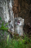 Canada Lynx Lynx canadensis Kitten Crying Stock Images