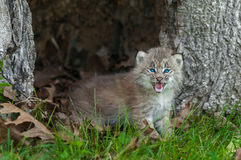 Canada Lynx (Lynx canadensis) Kitten Looks Forward from Within H Royalty Free Stock Photography