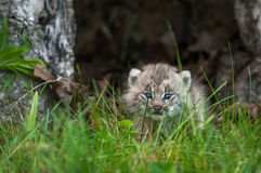 Canada Lynx Lynx canadensis Kitten Looks Out Between Blades of Stock Photography