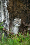 Canada Lynx Lynx canadensis Kitten Looks Right Royalty Free Stock Images