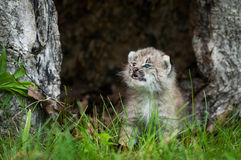 Canada Lynx Lynx canadensis Kitten Looks Up in Hollow Tree Stock Image