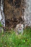 Canada Lynx Lynx canadensis Kitten Stands in Grass Stock Photo