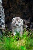 Canada Lynx Lynx canadensis Kitten Walks Forward Royalty Free Stock Photography